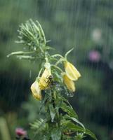 ミルンヤンマ 雨の中