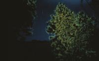ホタルの集団発光(ホタルツリー)