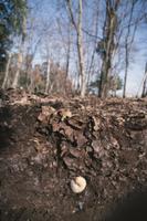 地中で冬を越すカブトムシの幼虫 32184000035| 写真素材・ストックフォト・画像・イラスト素材|アマナイメージズ