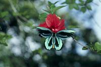 吸蜜するアレキサンドラトリバネアゲハのオス