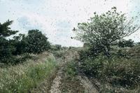 トノサマバッタ 群飛 群生相