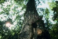 カブトムシ 樹液に集まる