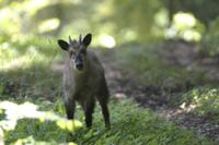 森の中で警戒するニホンカモシカ