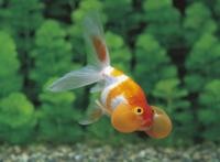 スイホウガン(金魚)