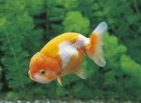 ランチュウ(金魚)