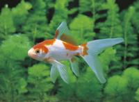 コメット(金魚)