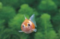 ピンポンパール(金魚)の正面顔