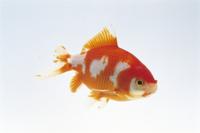 ワキン(金魚)