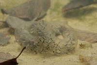トウキョウサンショウウオの卵嚢 産卵後8日目