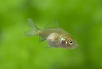 体高が高くなるリュウキン(金魚)の幼魚