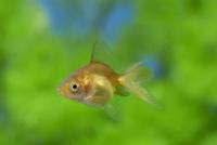 体色が変化し始めたリュウキン(金魚)の幼魚