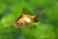 体色変化が進むリュウキン(金魚)の幼魚 成長連続2-1