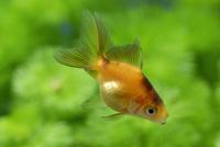 体色変化が進むリュウキン(金魚)の幼魚 成長連続2-2