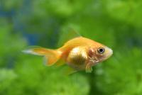 赤くなったリュウキン(金魚)の幼魚
