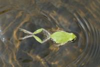 泳ぐニホンアマガエル(アマガエル) 連続2 32186000495| 写真素材・ストックフォト・画像・イラスト素材|アマナイメージズ