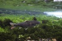 産卵のために川を遡上するホンマス