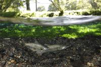 産卵床を掘るホンマス