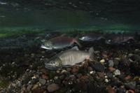 産卵のために川に上るホンマス(ビワマス×サクラマスの交雑種)