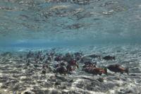 河口に群れるヒメマス