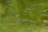 メダカの若魚(孵化後2ヶ月程度)