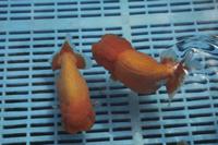 市場で出荷を待つ金魚(ランチュウ)