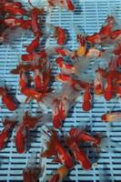市場で出荷を待つ金魚(オランダシシガシラ)