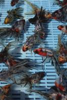 市場で出荷を待つ金魚(キャリコ)