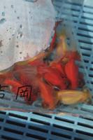 市場で出荷を待つ金魚(出目金)