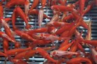 市場で出荷を待つ金魚