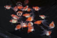 金魚の販売(パールスケール)