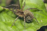 幼生を抱くウヅキコモリグモ