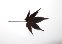 オカダンゴムシ 食べ物実験(カエデ枯葉) 食べる 32190000237| 写真素材・ストックフォト・画像・イラスト素材|アマナイメージズ