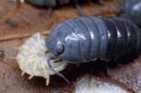 体前半分を脱皮後、脱皮殻を食べるオカダンゴムシ
