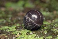 球になったオカダンゴムシ 32190000357| 写真素材・ストックフォト・画像・イラスト素材|アマナイメージズ