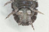 オカダンゴムシのオスの腹部 中央に縦長の交尾器が見える