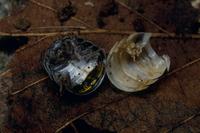 脱皮中に食べられたオカダンゴムシ  32190000390| 写真素材・ストックフォト・画像・イラスト素材|アマナイメージズ