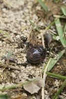 オカダンゴムシを襲うクロオオアリ