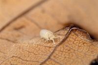 孵化後のオカダンゴムシの幼体 脚はまだ6対(12本)