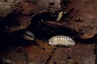 オカダンゴムシの幼体