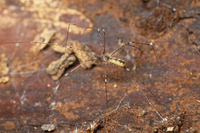 ユウレイグモ(4〜6mm) 平地から山地に見られる