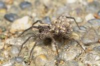 子グモを負うウヅキコモリグモのメス(体長7〜10mm)