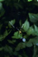 鹿児島県隼人町のクモ合戦に登場するコガネグモのメス