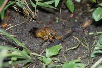 巣穴から出たアブラゼミの幼虫