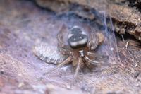 ヤスデを捕えたヒラタグモ