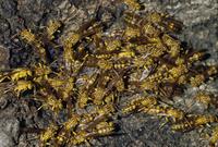 ムモンホソアシナガバチの群れ