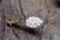 卵嚢を守っているユウレイグモ
