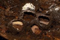マクラギヤスデの脱皮巣(マユ)の中 ドーム形の土の巣になっている
