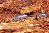 トウキョウコシビロダンゴムシ 朽ちたマツ材中にすみついた 林の中に多い