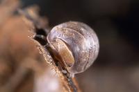 トウキョウコシビロダンゴムシ(8mm) 32190001084| 写真素材・ストックフォト・画像・イラスト素材|アマナイメージズ