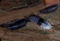 後体部(半分)を脱皮中のワラジムシ 杉の樹皮下